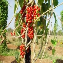 лиана гудучи аюрведа растения